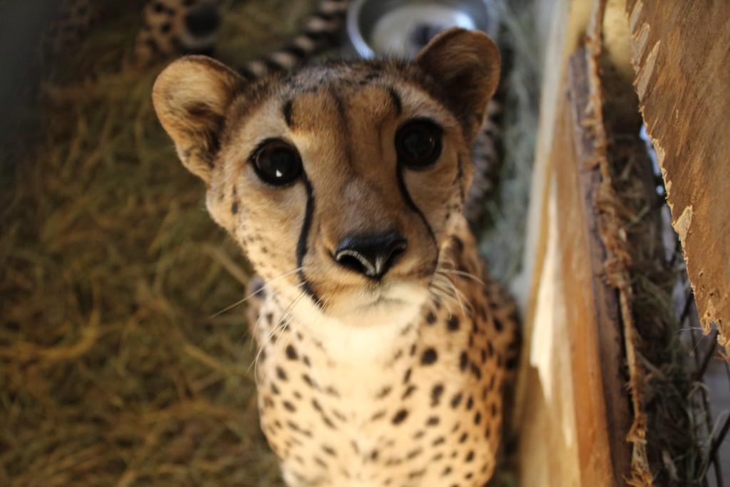 Globalong guépard orphelinat animalier